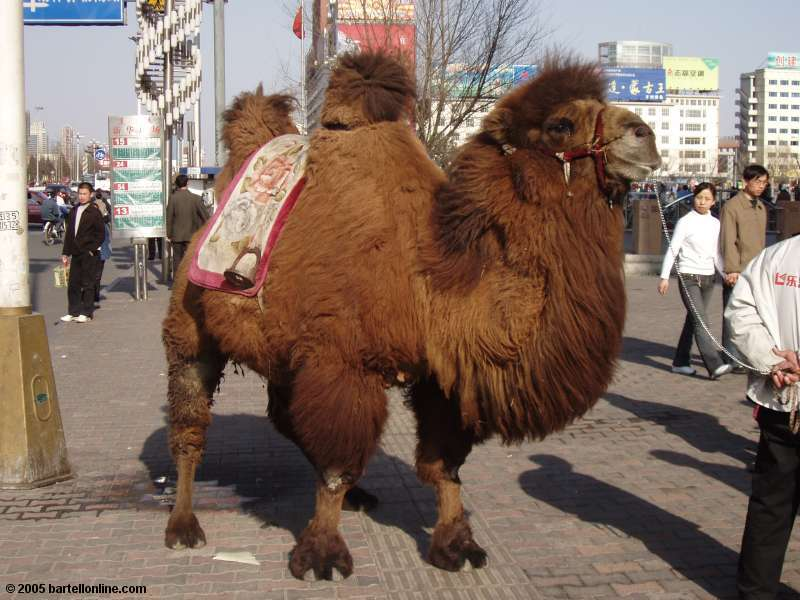 Camel on the street in downtown Hohhot, Inner Mongolia, China