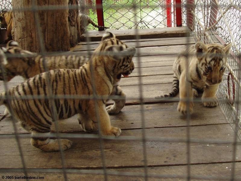 Baby tigers in Tiger Park outside the Changbaishan Nature Preserve in Jilin, China