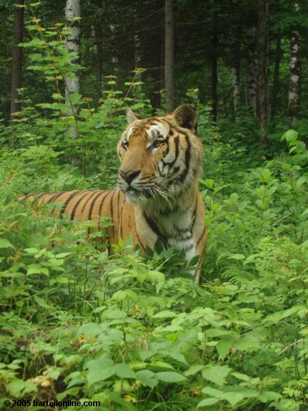 Largest tiger in Tiger Park outside the Changbaishan Nature Preserve in Jilin, China