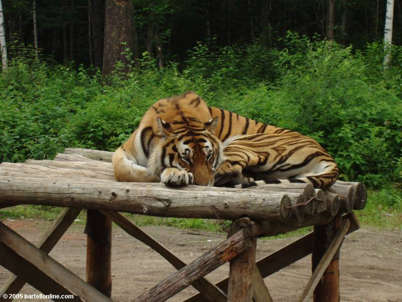 Resting tiger in Tiger Park outside the Changbaishan Nature Preserve in Jilin, China