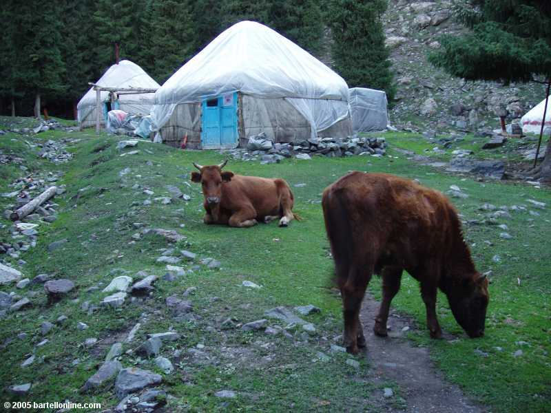 Cows graze outside Rashit's Yurts at Tianchi Lake in Xinjiang province, China