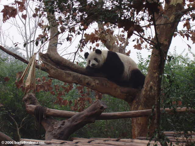 Panda relaxing in a tree at the Giant Panda Breeding Research Center outside Chengdu, Sichuan, China