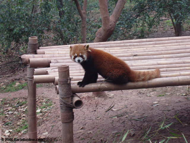 A red panda at the Giant Panda Breeding Research Center outside Chengdu, Sichuan, China