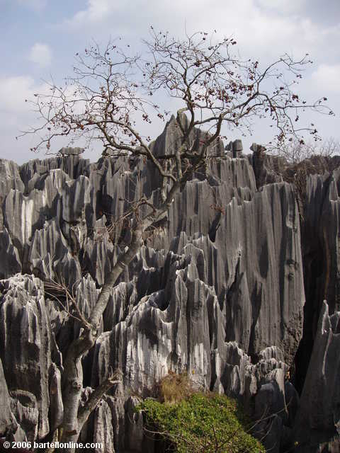 Barren tree and limestone karsts at the Stone Forest near Kunming, Yunnan, China