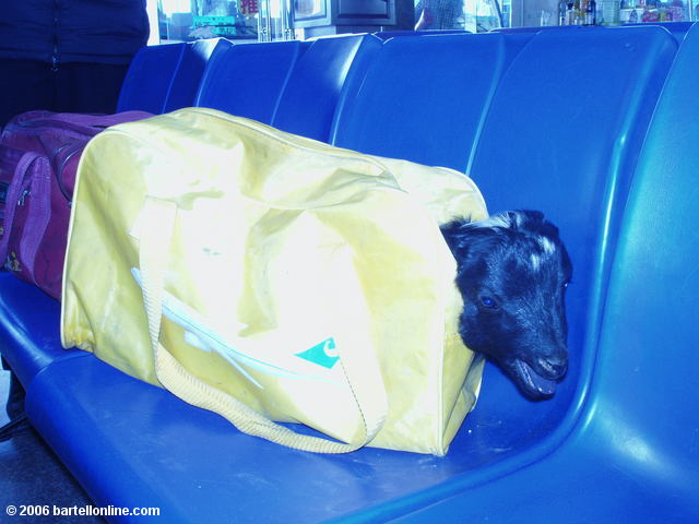 "Head of a live lamb pokes out from a suitcase in the bus station in Zhongdian (""Shangri-La""), Yunnan, China"